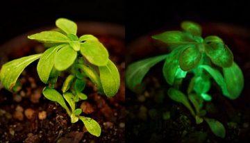 Bioglow-plants