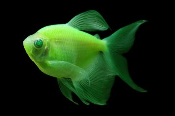 Long-fin-GloFish-Electric-Green-Tetra_1024x1024